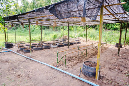 Cultivation of cucumbers in farm, drip irrigation system