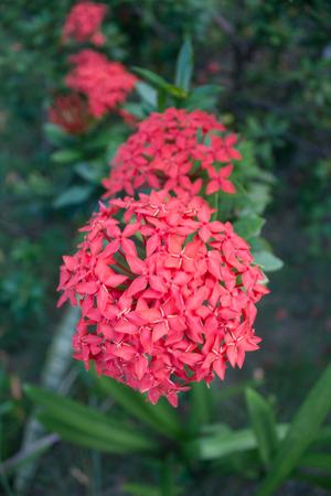 red Ixora flowers Stock Photo