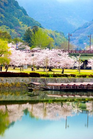 Cherry blossom (Sakura) trees and flowers along Nishiki river side with the boats parked near Kintai bridge with reflection in the water - Yamaguchi, Japan.