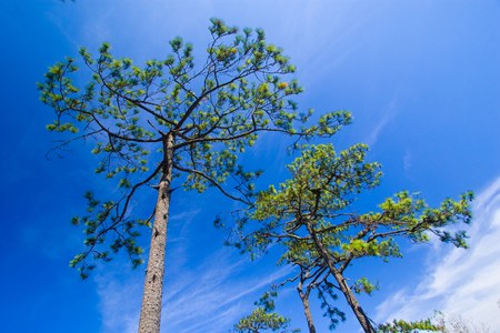 Pine trees with blue sky at Phukradueng National Park of Thailand.