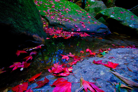 Red Maple leaves near waterfall area at Phukradueng National Park ,Thailand.