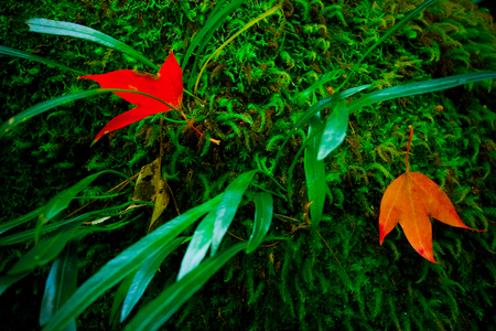 Red Maple leaves near waterfall area at Phukradueng National Park, Thailand.