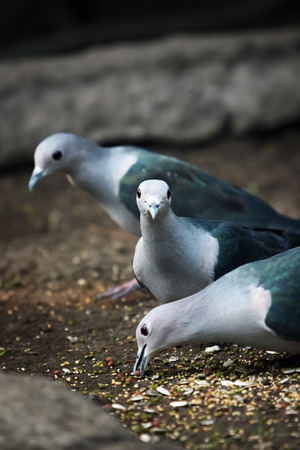 Three pigeons eating food on the floor, one of them looking directly to the camera.