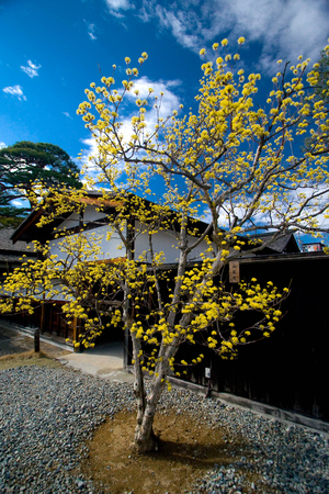 Yellow tree with blue sky.