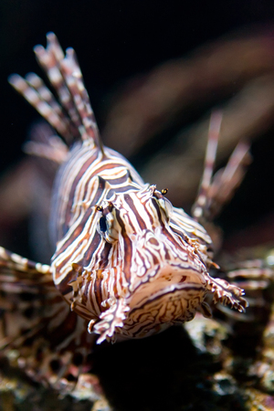 Close up lionfish with shallow depth of field.