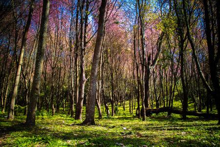 Beautiful Wild Himalayan Cherry (Prunus cerasoides, Sakura) forest at Phu Thap Boek