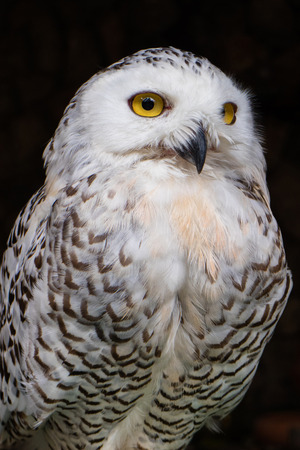A portrait of big white owl with yellow eyes on the dark background.