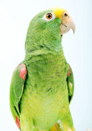 Green parrot over white background. Multi Colored Bird photo