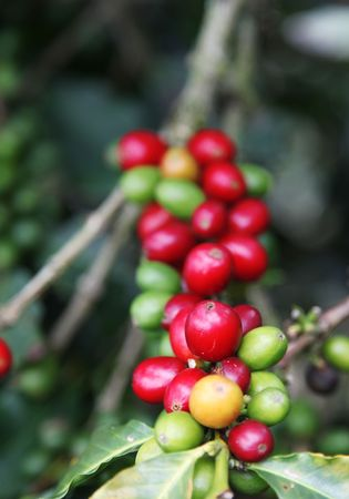 Red colombian coffee bean . Beauty nature image photo