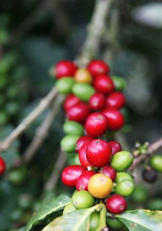 cafe colombiano: Rojo grano de caf� colombiano. Imagen de naturaleza de belleza