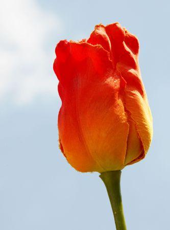 Orange flower over sky background. Beauty image Stock Photo - 5931475