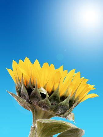 Sunflower with blue sky background. Illustration illustration