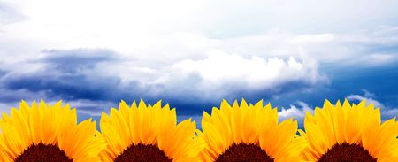 Four sunflowers over blue sky background. Nature image photo