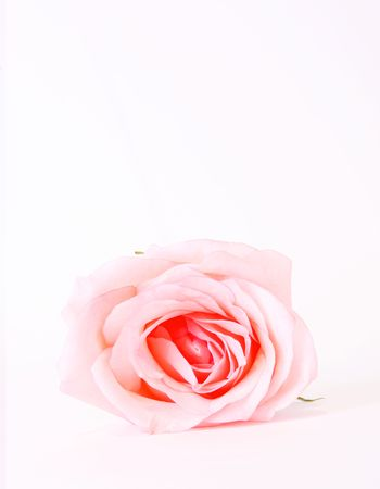 Pink beauty rose over white background. Flower photo