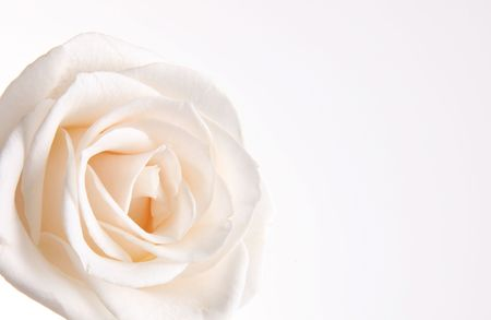 Beauty white rose over empty background. Petals photo