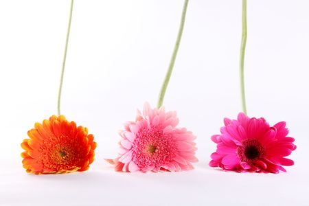 Pink, fuchsia and orange flowers over white background. Stem and petals Stock Photo - 6790490
