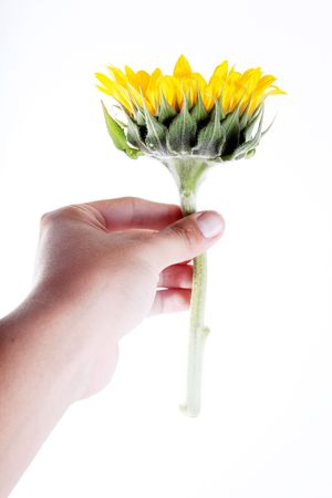 Hand giving a sunflower over white background photo