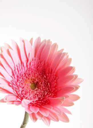 Pink flower over white background. Floral image Stock Photo - 6790521