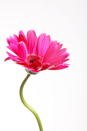 Flor rosa con tallo de curva sobre fondo blanco  Foto de archivo - 6790509