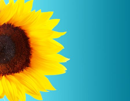 Sunflower petals over blue background. Nature image photo