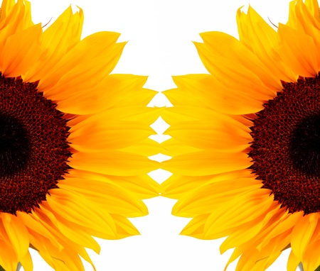 Two sunflowers on white background, nature image Stock Photo - 8305566