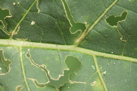 Leaf with holes where insects have eaten some Stock Photo - 8912772