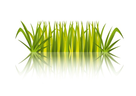 sedge: green grass with refletion over white background. vector illustration