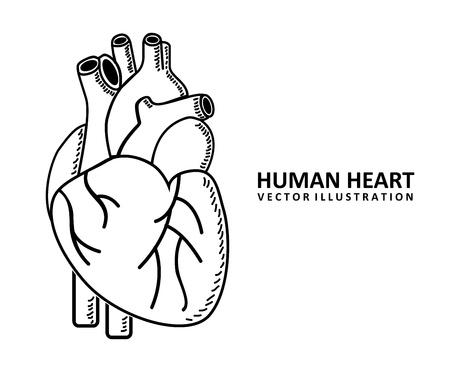 human heart: human heart design over white background