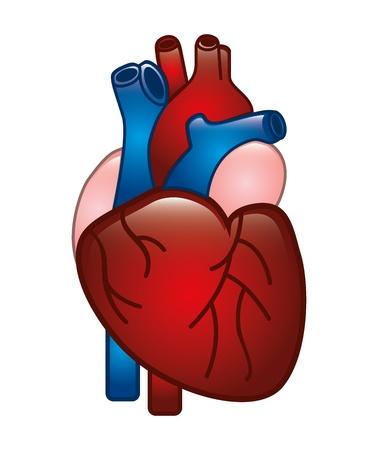 disegno del cuore umano su sfondo bianco