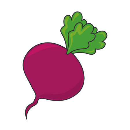 beet root: beet beetroot food  vegetable root organic natural vector illustration isolated