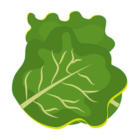 Fresh and green lettuce graphic design over white background,vector illustration.