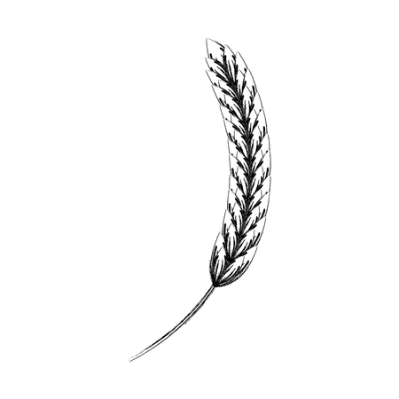 Ear of barley natural vector illustration design