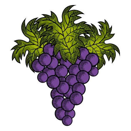 wine grapes isolated icon vector illustration design Ilustração