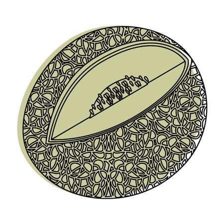 cantaloupe fruit icon over white background vector illustration