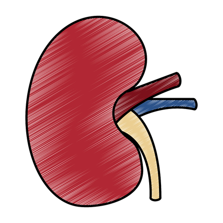 ヒト腎臓臓器部分健康ベクターイラスト描画デザイン  イラスト・ベクター素材