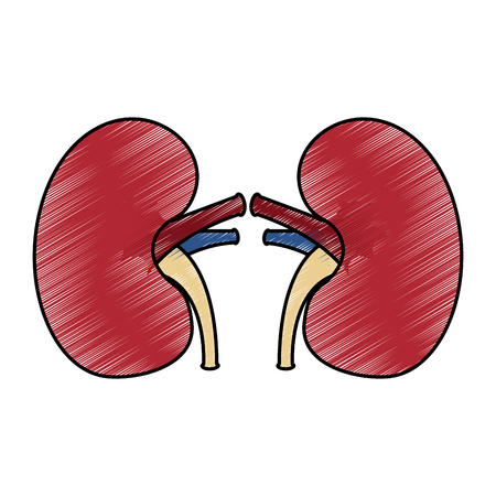 kidney medical healthy internal human organs vector illustration drawing design