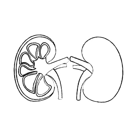 human organs kidney anatomy medical icon vector illustration sketch design Ilustracja