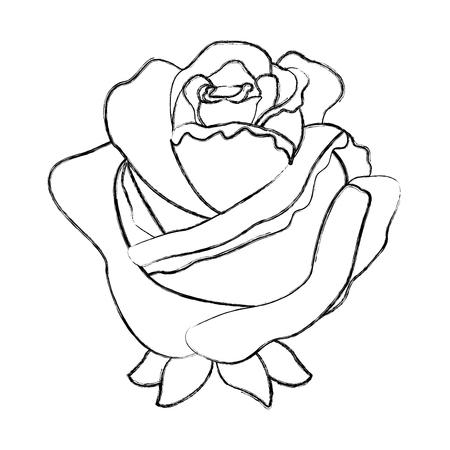 flower rose delicate decoration floral nature petals vector illustration sketch image Illustration