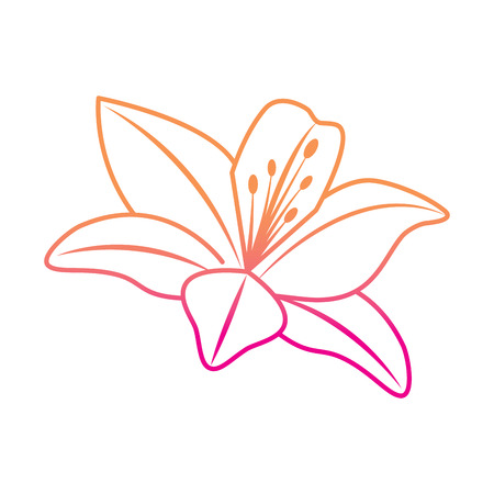 Flower lily delicate decoration floral nature petals vector illustration degrade color line image