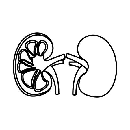 human organs kidney anatomy medical icon vector illustration  outline design Illustration