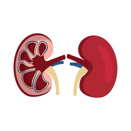 人体腎臓解剖学医療アイコンベクトル図  イラスト・ベクター素材