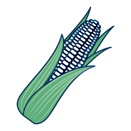 cob corn grain leaves agriculture organic vector illustration green and blue