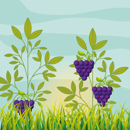 agriculture vineyard with ripe grapes vector illustration