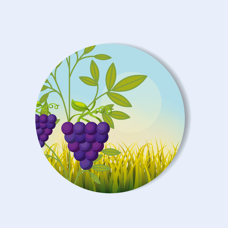 ripe juicy bunches of purple grapes hang on the branch vector illustration