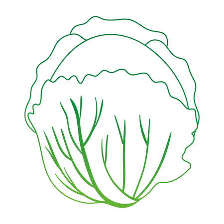 fresh cabbage vegetarian food vector illustration design