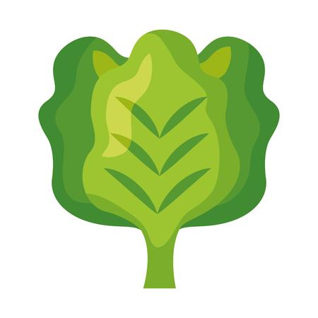 lettuce fresh healthy food on white background  vector illustration
