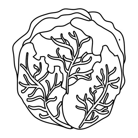 fresh cabbage vegetable healthy icon vector illustration design