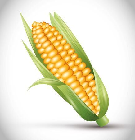 ripe corn cob with leaves, ear of corn, vegetable fresh vector illustration design
