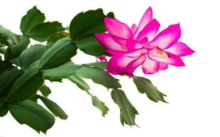 truncated: Blooming  �lumbergera truncated.