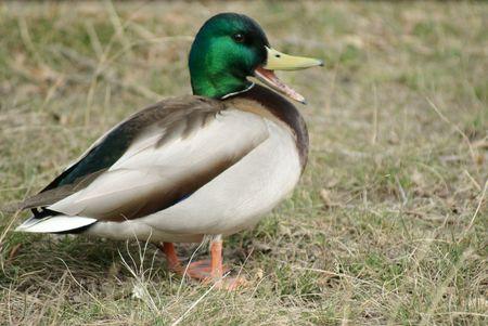 quacking: A quacking male or drake mallard duck sporting a bright green head